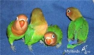 Птенцы неразлучника Фишера - фото Амайзе
