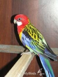 Вот, собралась себе такого попугая подарить на ДР.  970грн стоит. придётся за него