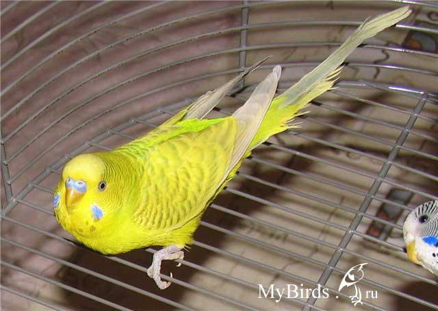 Имя для желтого попугая