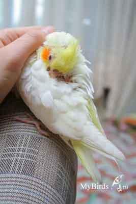 Прикосновение к попугаю. Карелла, фото Pola