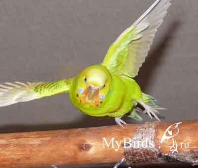 "Команда ""Ко мне"". Волнистый попугай Петровна, фото iriwkins"