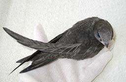Если вы нашли стрижа, хотите помочь ему и видите, что у птицы какие-то...