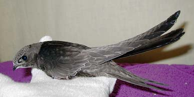 Выкармливание птенцов черных стрижей (Apus Apus)