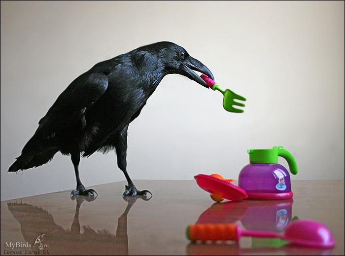 Ворон домашних условиях