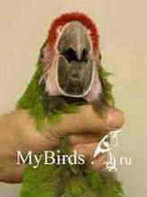 Фиксация головы крупного попугая (вид спереди)