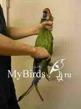 Фиксация крупного попугая (вид спереди)