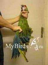 Фиксация крупного попугая (вид справа)