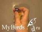 Фиксация головы мелкого попугая (вид сбоку)