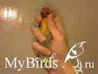 Фиксация мелкого попугая