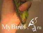 Фиксация ног, крыльев и хвоста мелкого попугая