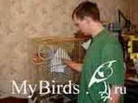 Поимка птицы в клетке