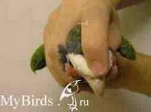 Фиксация головы среднего попугая (вид сверху)