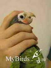 Фиксация головы среднего попугая (вид слева)