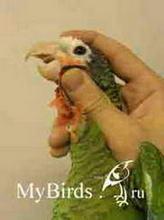 Фиксация головы среднего попугая (вид справа)