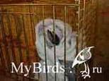 Фиксация головы попугая в углу клетки