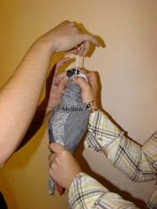 Фиксация серого африканского попугая жако при взятии мазка из зоба