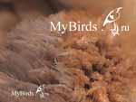 Яйца пухопероедов на оперении попугая