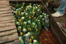 Blue fronted amazon parrots in crates for export, Argentina. Photo Environmental Investigation Agency