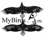 Третий годовой наряд белоплечего орлана