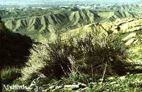 Миндаль метельчатый, или прутьевидный
