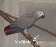 серый африканскйи попугай жако краснохвостый