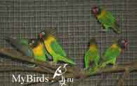 попугаи неразлучники природная морфа