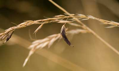 Спорынья (Ergot) Website details are as follows.    www.naturessecretlarder.co.uk  Image Copyright:  Kris Miners